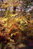 Árvores de Falso de Verzy no outono Foto de Stock