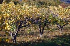 Árvores de figo Foto de Stock Royalty Free