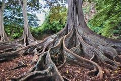 Árvores de figo Fotografia de Stock