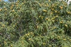 Árvores de figo situadas em Malta Foto de Stock