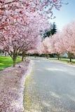 Árvores de florescência Fotos de Stock Royalty Free