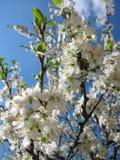 Árvores de florescência Imagens de Stock