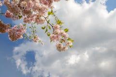 Árvores de florescência Fotografia de Stock