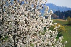 Árvores de florescência bonitas na mola Imagem de Stock Royalty Free