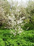 Árvores de florescência da cereja e de maçã foto de stock