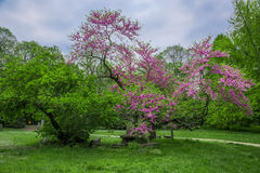 Árvores de florescência da garra do parque, com HDR Imagem de Stock Royalty Free