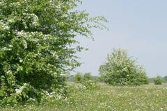 Árvores de florescência do Hawthorn fotografia de stock royalty free