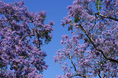 Árvores de florescência do Jacaranda imagens de stock