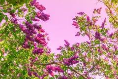 Árvores de florescência lilás Fotografia de Stock Royalty Free