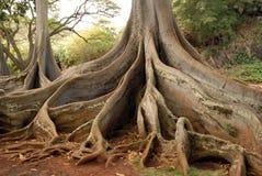 Árvores de floresta antigas fotografia de stock