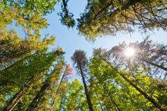 Árvores de floresta com estouro do sol fotos de stock