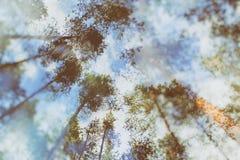 Árvores de floresta coníferas e o céu Opinião de exposição dobro Fotografia de Stock Royalty Free