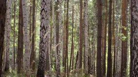 Árvores de floresta do outono Fundos de madeira verdes da luz solar da natureza Árvore com as folhas douradas no outono e nos rai filme