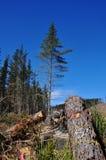 Árvores de floresta do pinho e registros cortados Imagem de Stock Royalty Free