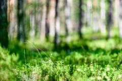 Árvores de floresta do verão Fundos de madeira verdes da luz solar da natureza Fotografia de Stock