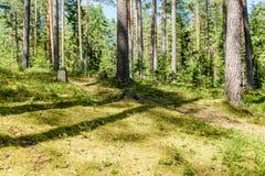 Árvores de floresta do verão Fundos de madeira verdes da luz solar da natureza Fotos de Stock