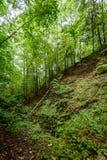 Árvores de floresta do verão Fundos de madeira verdes da luz solar da natureza Imagem de Stock
