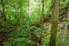 Árvores de floresta do verão Fundos de madeira verdes da luz solar da natureza Foto de Stock Royalty Free