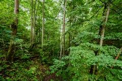 Árvores de floresta do verão Fundos de madeira verdes da luz solar da natureza Imagem de Stock Royalty Free