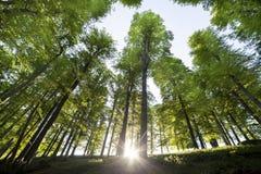 Árvores de floresta Fundos de madeira verdes da luz solar da natureza Foto de Stock Royalty Free