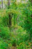 Árvores de floresta Fundos de madeira verdes da luz solar da natureza Imagens de Stock