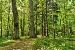 Árvores de floresta fundos de madeira verdes Sunny Day da natureza Imagens de Stock