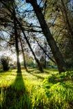 Árvores de floresta luz solar de madeira verde da natureza Fotos de Stock