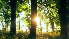 Árvores de floresta madeiras da árvore de floresta da calha do voo Silhueta das árvores por do sol do alargamento do sol Fundo da video estoque