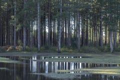 Árvores de floresta novas Imagem de Stock