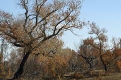 Árvores de floresta queimadas Foto de Stock Royalty Free