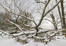 Árvores de folhas mortas na neve Fotos de Stock Royalty Free