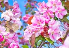 Árvores de fruta de florescência Fotografia de Stock