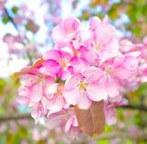 Árvores de fruta de florescência na mola Fotos de Stock Royalty Free