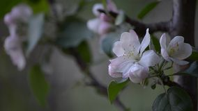 Árvores de fruta de florescência na mola filme