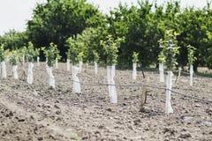Árvores de fruto Imagem de Stock Royalty Free
