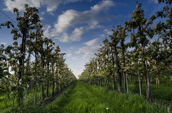 Árvores de fruto de florescência foto de stock
