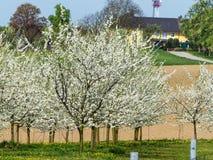 Árvores de fruto de florescência na mola Fotos de Stock