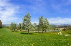 Árvores de fruto de florescência na paisagem rural foto de stock
