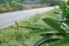 Árvores de fruto do dragão Fotografia de Stock