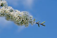 Árvores de fruto de florescência bonitas A planta de florescência ramifica no dia ensolarado brilhante morno da mola Imagem de Stock