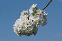 Árvores de fruto de florescência bonitas A planta de florescência ramifica no dia ensolarado brilhante morno da mola Fotos de Stock Royalty Free