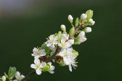 Árvores de fruto de florescência bonitas A planta de florescência ramifica no dia ensolarado brilhante morno da mola Foto de Stock