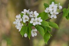 Árvores de fruto de florescência bonitas A planta de florescência ramifica no dia ensolarado brilhante morno da mola Imagens de Stock