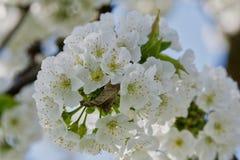 Árvores de fruto de florescência bonitas A planta de florescência ramifica no dia ensolarado brilhante morno da mola Imagens de Stock Royalty Free