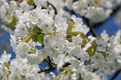 Árvores de fruto de florescência bonitas A planta de florescência ramifica no dia ensolarado brilhante morno da mola Foto de Stock Royalty Free