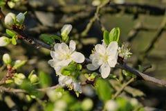 Árvores de fruto de florescência bonitas A planta de florescência ramifica no dia ensolarado brilhante morno da mola Fotografia de Stock