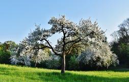 Árvores de fruto na mola Fotografia de Stock Royalty Free