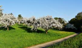 Árvores de fruto na mola Fotos de Stock