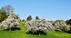 Árvores de fruto na mola Fotografia de Stock