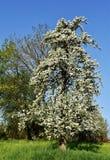 Árvores de fruto na mola Imagem de Stock